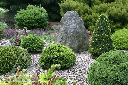 Miniature Conifers