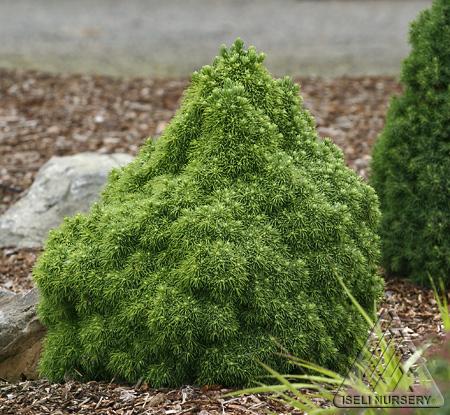 Picea glauca Humpty Dumpty