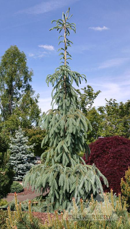 Picea engelmannii 'Bush's Lace'
