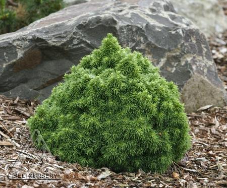 Picea glauca Hobbit