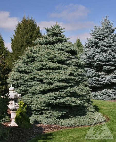 Picea pungens 'Hillside'