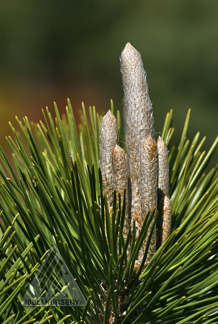 Pinus thunbergii Thunderhead candles emerge in spring