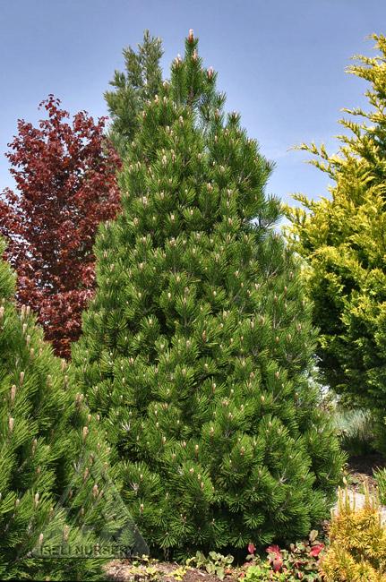 Pinus leucodermis 'Compact Gem'