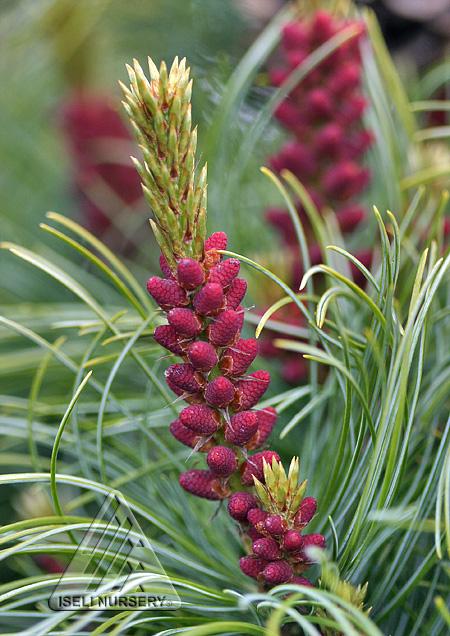 Pinus parviflora 'Bergmani' pollen cones