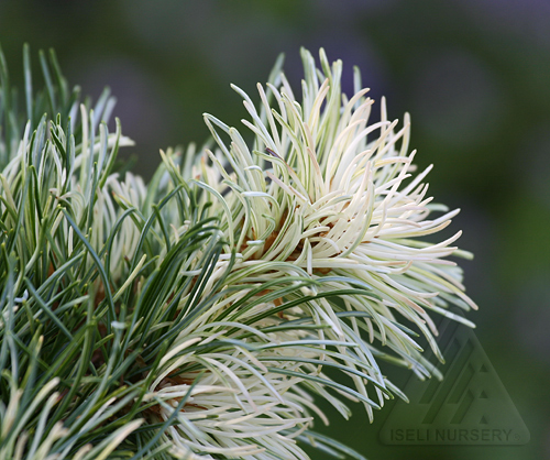 Pinus parviflora 'Tanima no yuki' - summer foliage