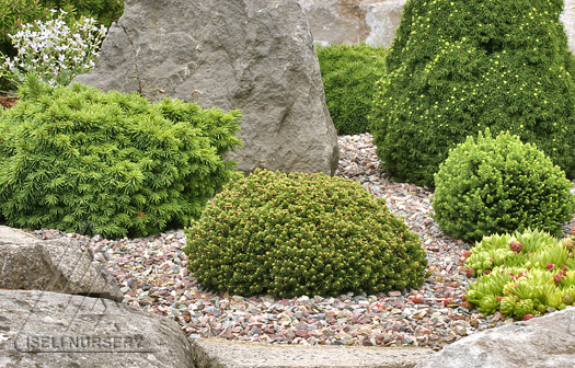Miniature Conifers