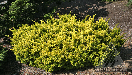 Taxus cuspidata Nana Aurescens