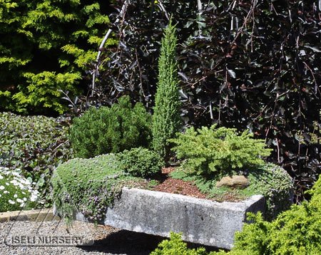Hypertufa trough garden using dwarf conifers and other miniature or creeping plants.