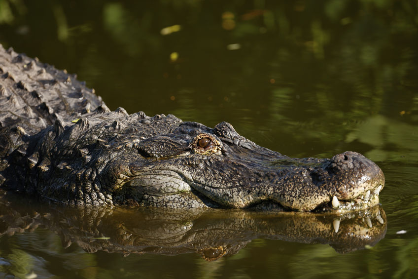 A large american alligator in the swamp