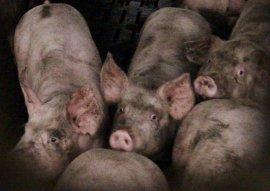 Shameless Pork filthy