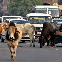 "Traffic moves slowly as a group of stray bulls walk on a road in New Delhi May 5, 2005. An Indian court has ordered officials to clean up one of the biggest menaces prowling the wide avenues, luscious parks and crowded bazaars of the capital New Delhi - holy cows. About 35,000 cows and buffaloes roam free in Delhi in the heart of north India's Hindu ""cow belt"", sharing roads with hordes of monkeys, camels and stray dogs and killing scores of people every year in gorings and traffic accidents. REUTERS/Kamal Kishore  KK/CCK - RTRA7NM"