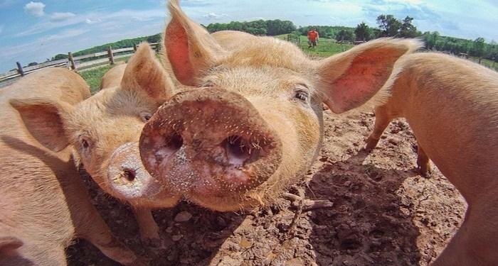 penyakit akibat daging babi