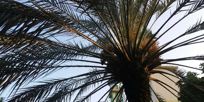 Kisah Pohon Kurma yang Berpindah Tempat 1