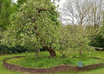 Pohon apel Isaac Newton di Lincolnshire, Inggris. Foto: Flickr