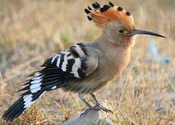 Burung hud-hud