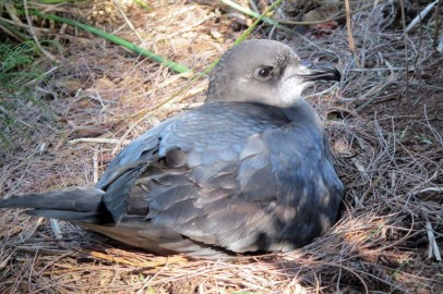 Murphy's Petrel on Manui Island
