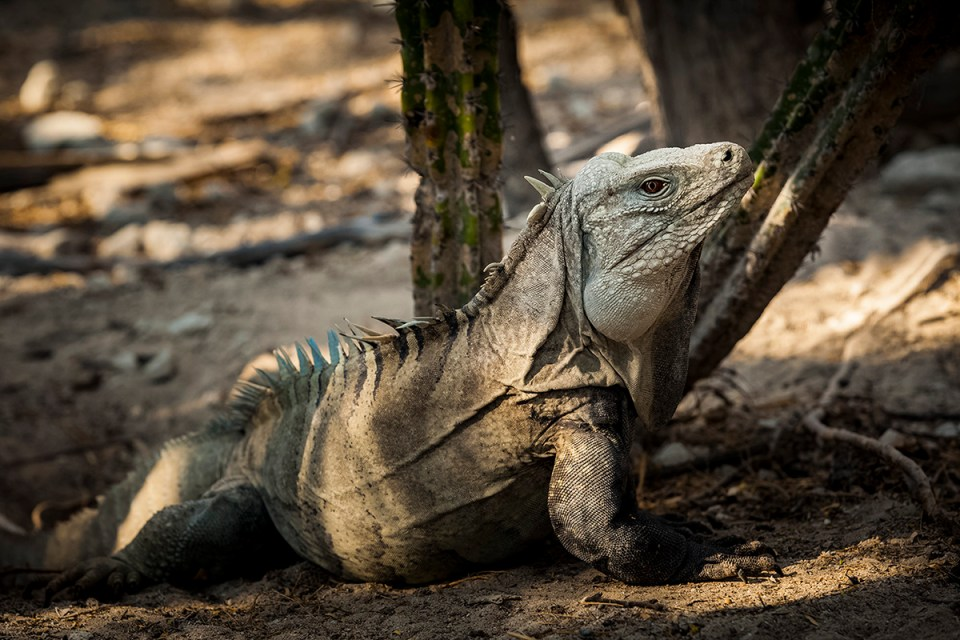 Ricords iguana cabritos island dominican republic island conservation bill waldman wes jolley tommy hall