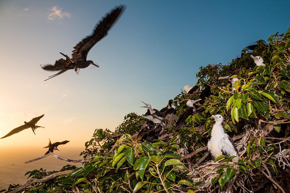 Magnificent frigatebird colony on Redonda. Credit: Ed Marshall