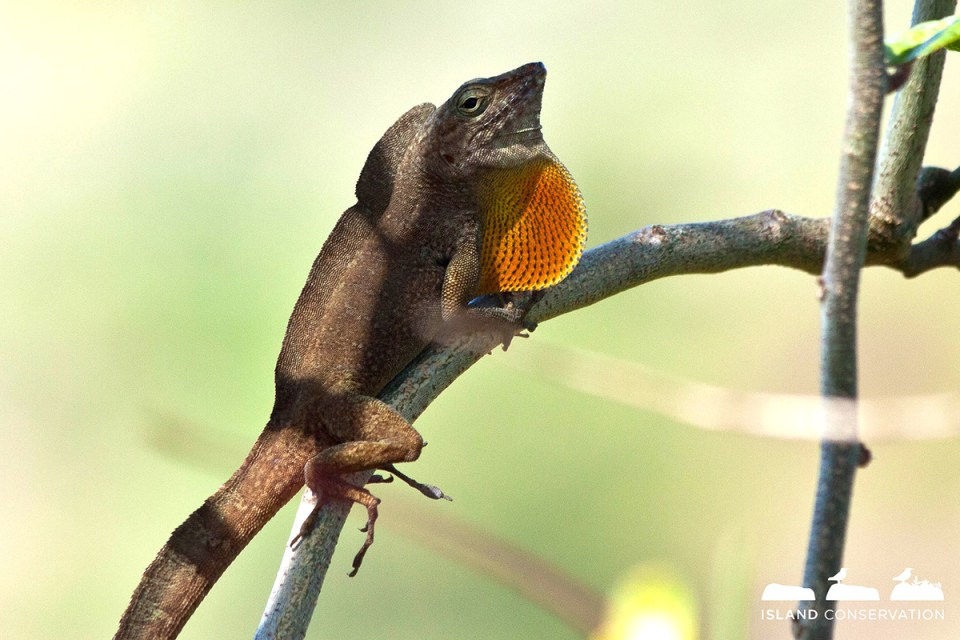 island-conservation-science-Desecheo-Anole-Anolis-desechensis-puerto-rico