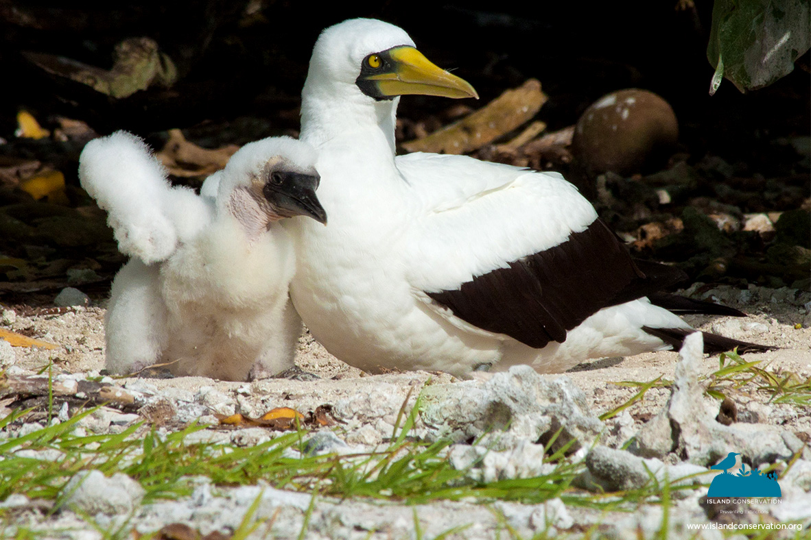 Island Conservation Photos Of Cute Baby Animals And Their Moms