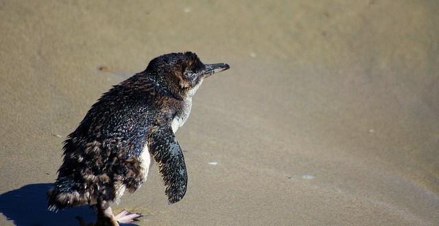 Island Conservation Science Little Penguin