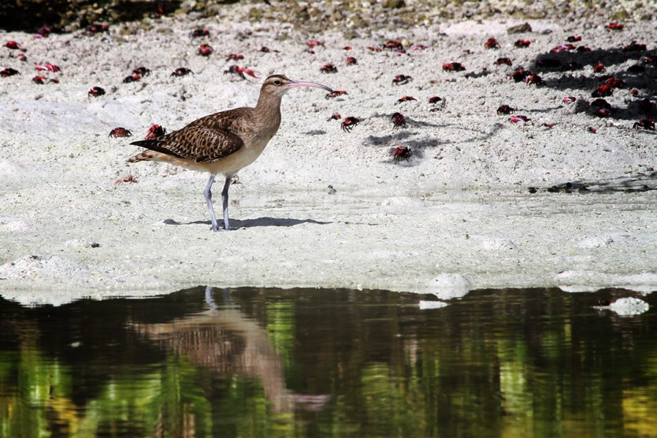 Island Conservation Science Bristle-thighed Curlew
