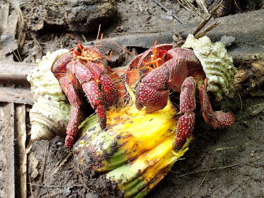 Island Conservation Science Hermit Crabs