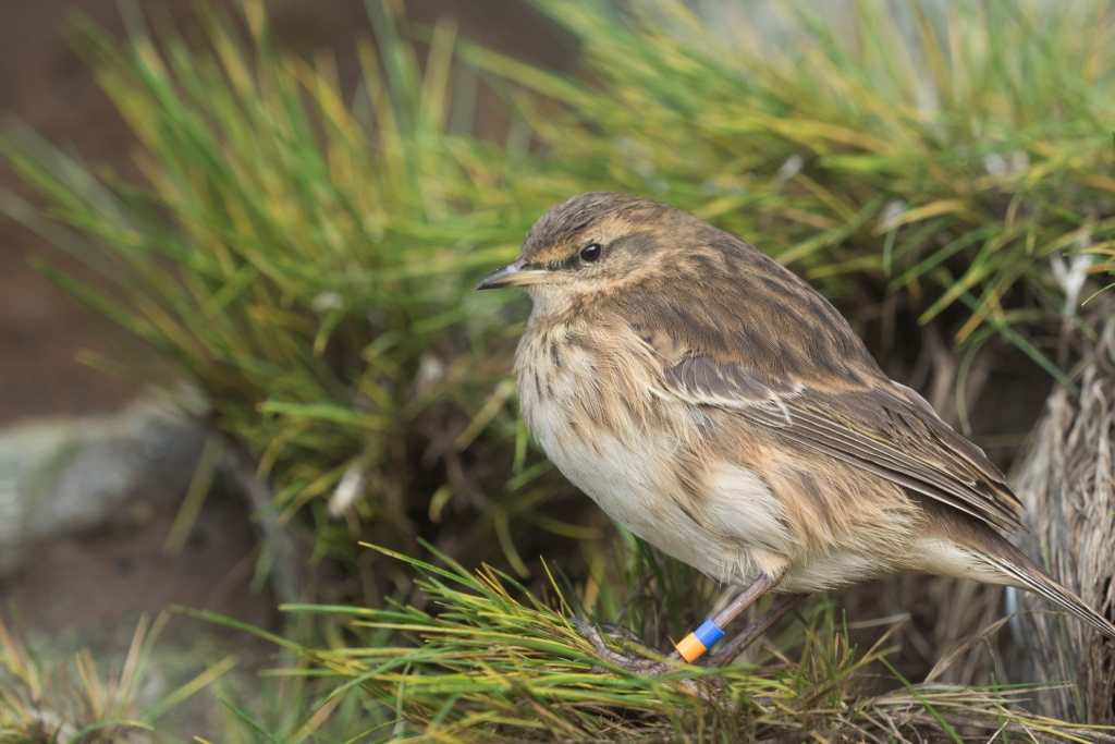 Island Conservation Antipodes Island Pipit