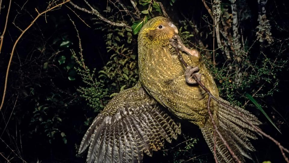 Island Conservation Kakapo in Tree