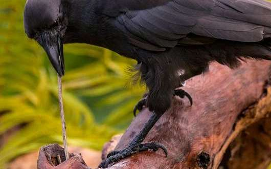 island conservation science hawaiian crow research