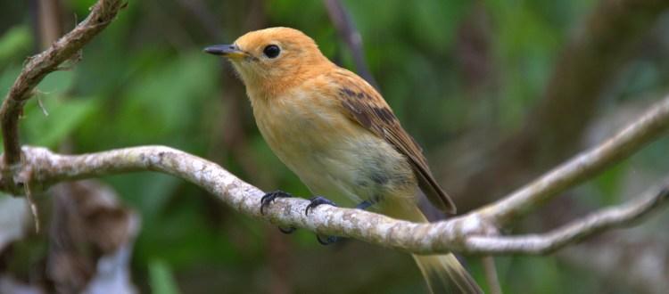 island conservation rarotonga flycatcher