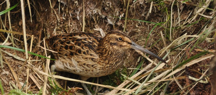 island conservation science snipe antipodes