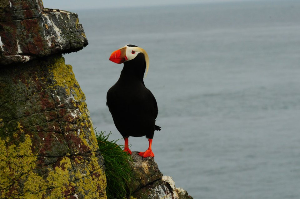 island-conservation-tufted-puffin