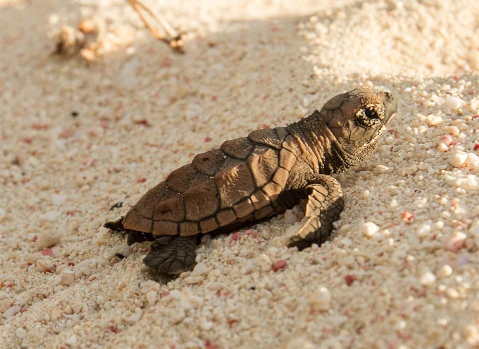 island conservation hawksbill sea turtle