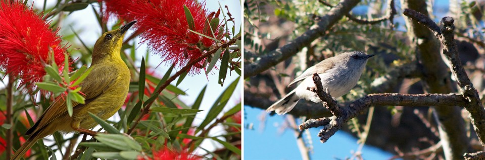 island conservation warbler and honeyeater