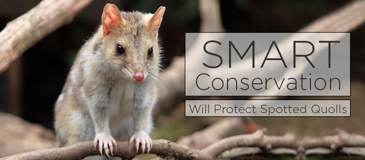 island conservation spotted quoll
