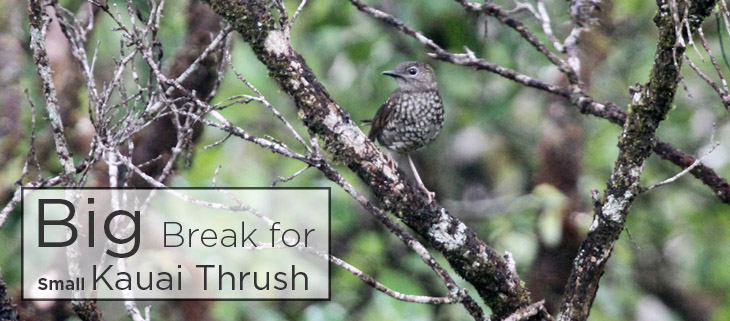island conservation kauai thrush hawaii