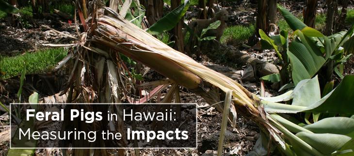 island-conservation-preventing-extinctions-invasive-feral-pig-damage-native-plants-feat