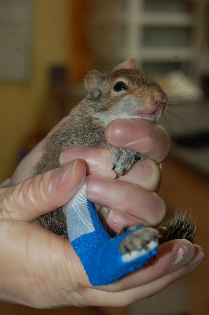 island conservation grey squirrel sara dubois (in hand)