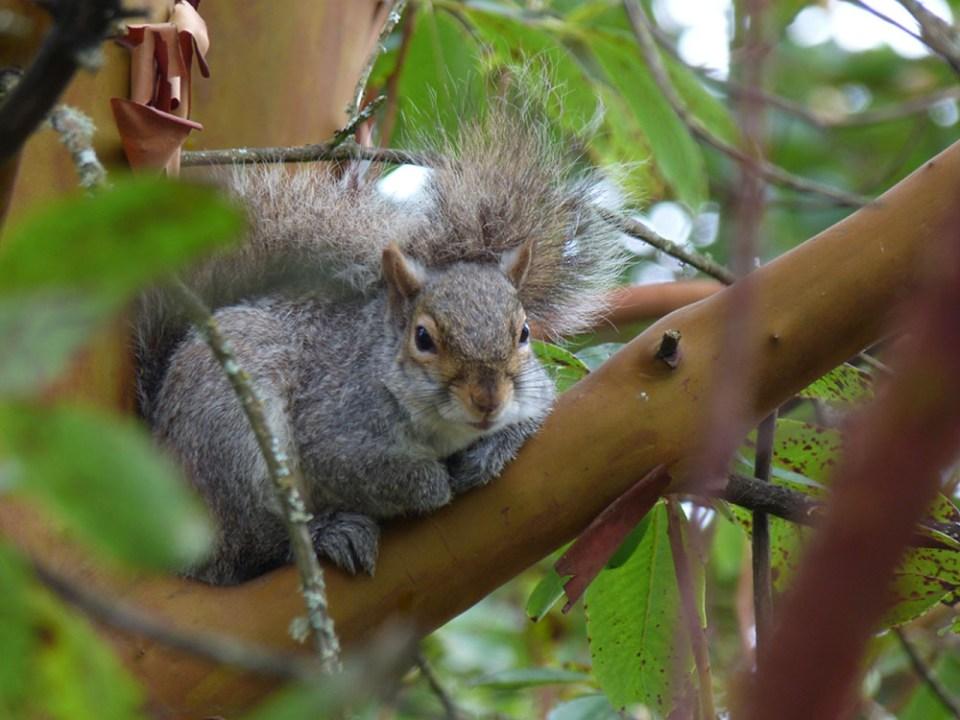 island conservation grey squirrels sara dubois bc spca