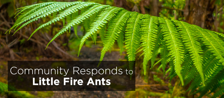 island-conservation-preventing-extinctions-little-fire-ants-maui-feat