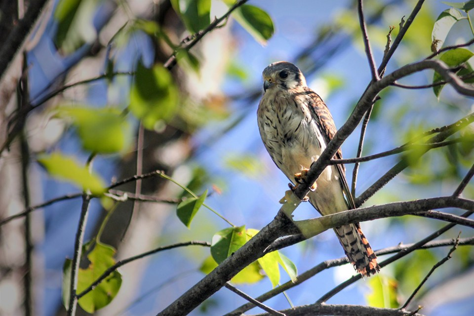 Desecheo national wildlife refuge Species: American Kestrel (Falco sparverius dominicensis) Location: Isla Desecheo, Puerto Rico Photo by Armando Feliciano/Island Conservation