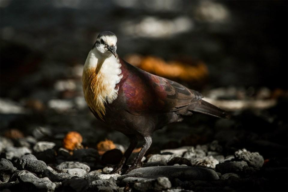 Alopecoenas erythropterus island conservation science preventing extinctions french polynesia tutururu FR