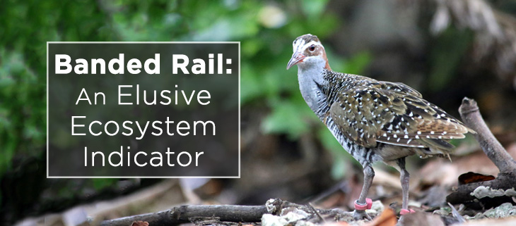 island-conservation-banded-rail-feat