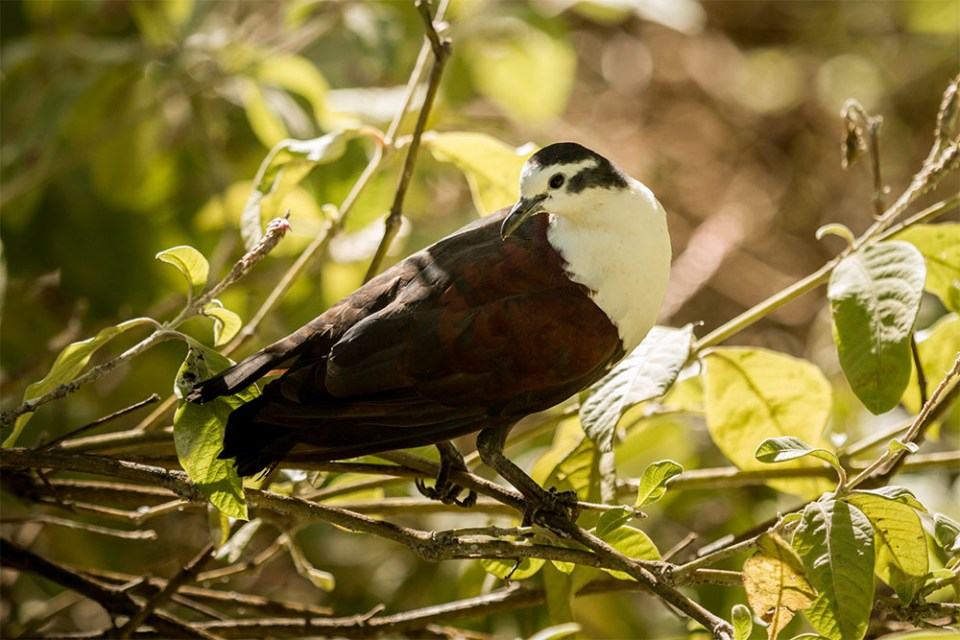 island-conservation-preventing-extinctions-genetic-engineering-tutururu