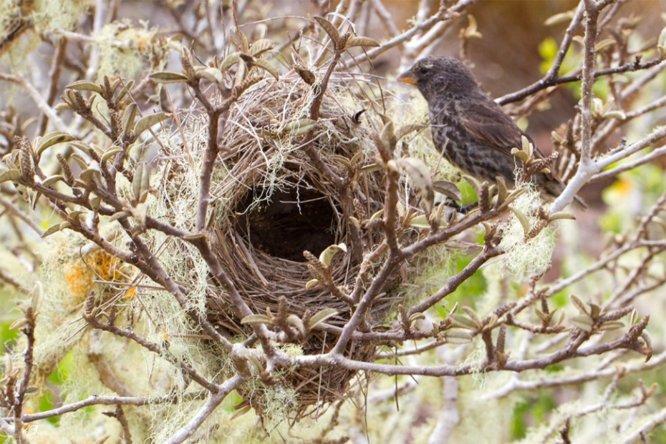 island-conservatio-paula-floreana-medium-tree-finch