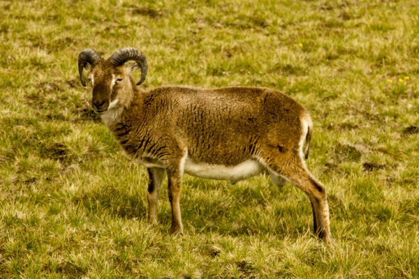 island-conservation-soay-sheep-saint-kilda-island
