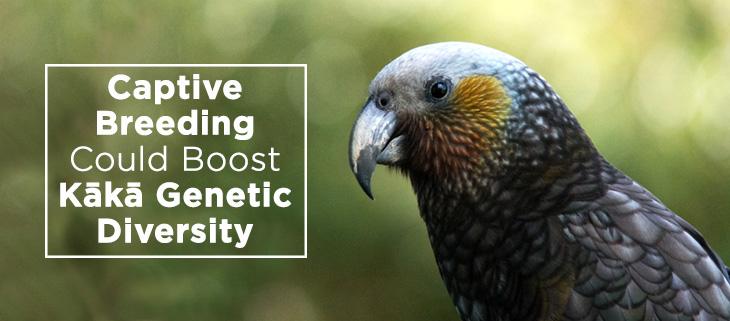 island-conservation-genetic-diveristy-kaka-bird-feat