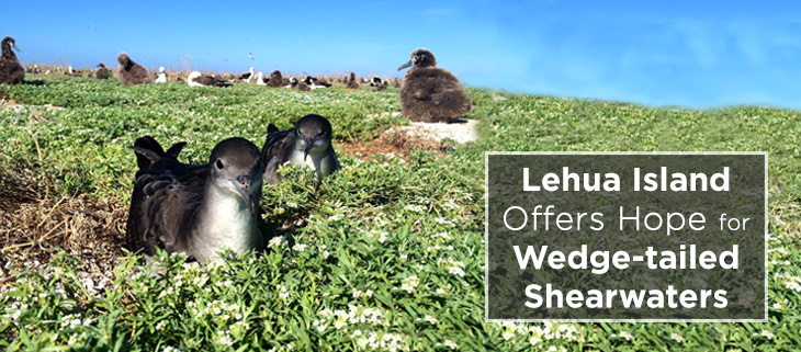 island-conservation-operation-lehua-island-wedge-tailed-shearwater-feat
