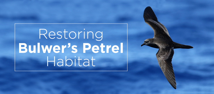 island-conservation-preventing-extinctions-operation-lehua-island-bulwer-petrel-feat2